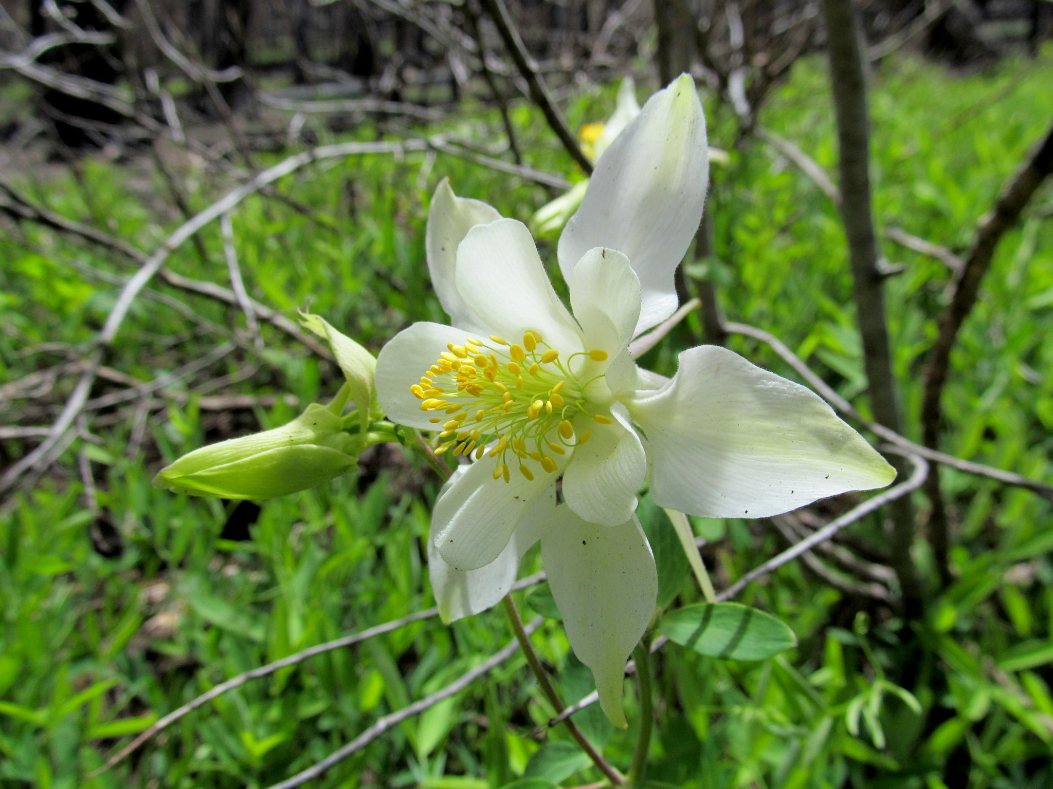 Photo: Colorado Columbine (Aquilegia coerulea)