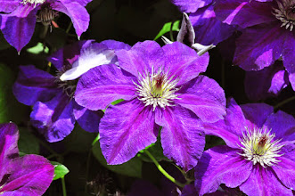 Photo: Clematis 'Happy Birthday' nice closeup