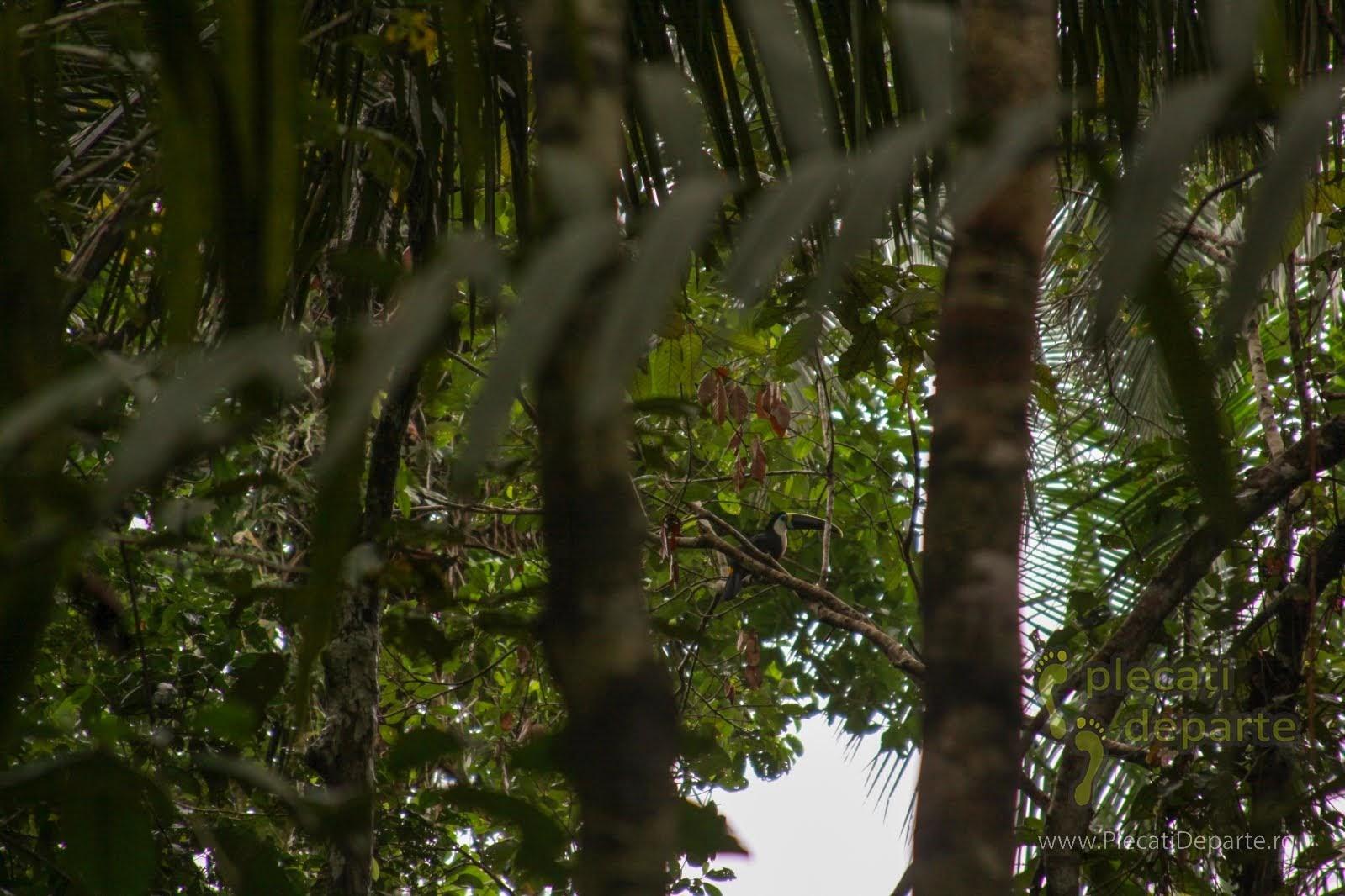 Tucan in jungla amazoniana, in Rezervatia Nationala Pacaya-Samiria, Peru