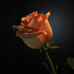 The Color of Peaches by Sharon Pierson - Nature Up Close Flowers - 2011-2013 ( rose peach lighting,  )