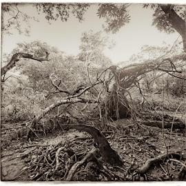 Estival - fallen giants by Annette Flottwell - Black & White Landscapes ( nancite, arboles, guanacaste, marsh, trees, drift, estival )
