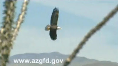 Photo: This is a photo of a typical bald eagle flying over the Lake Pleasant area.