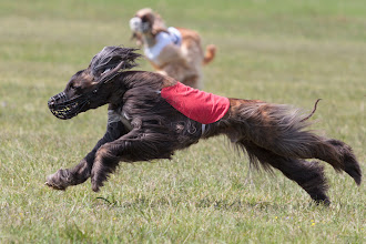 Photo: Afghane, Coursing, Spitzerberg