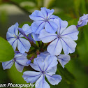 Cape Leadwort / Cape Forget-Me-Not