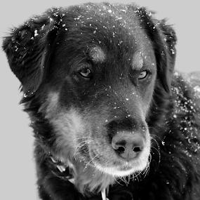 Snow Day! by Kari Schoen - Black & White Animals ( canine, black and white, black and white dog, snowday, snow day, dog,  )