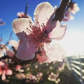 by Lindsey Ballard Gray - Flowers Tree Blossoms