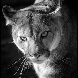 Mountain Lion by Dave Lipchen - Black & White Animals ( mountain lion )