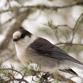Gray Jay in Pine by Camruin Kilsek - Animals Birds