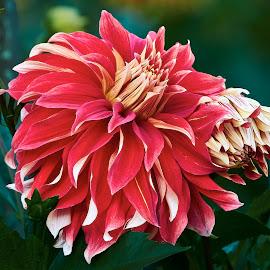 Dahlia 9473~ by Raphael RaCcoon - Flowers Flower Gardens