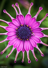 Photo: African Daisy with an itch needing to be scratched. (Or a scratch needing to be itched?) Either way...it's clearly wanting a little something (grin)