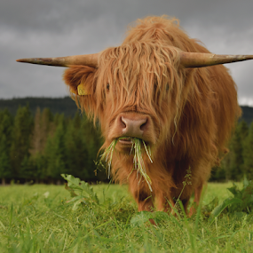 Higland coo by Kristin Smestad - Animals Other ( highland, okse, cow, bull, fe,  )