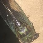 Linne's Cicada