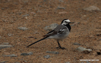 Photo: This wagtail subspecies (Motacilla alba ocularis) should not be here. This is 1,000km south of where it's range should be.