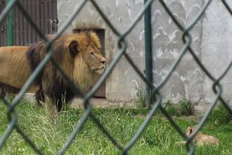 Foto: Titta! Där ligger även lille Simba!