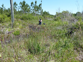 "Photo: Brian filming the meanwhile extinct Sarracenia leucophylla ""pink tube"" at Tate's Hell (Florida Panhandle)."