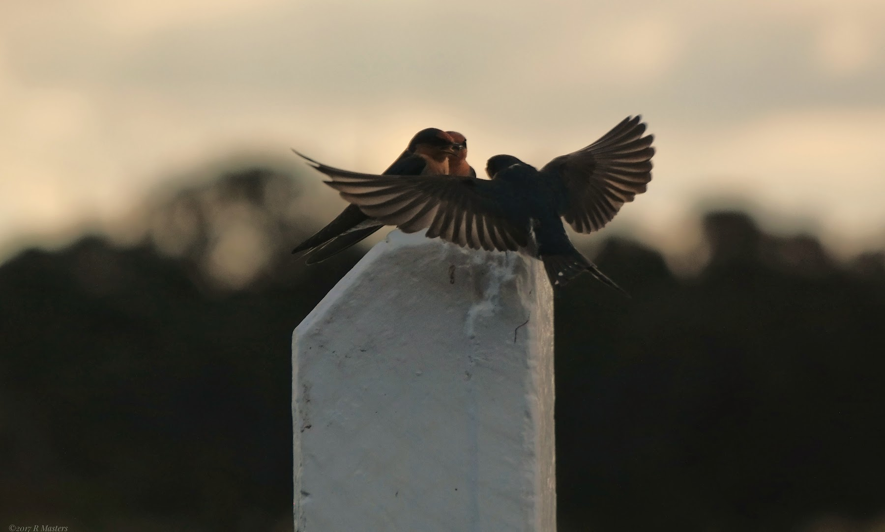 Three Welcome Swallows, one landing