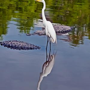 Great White Egret 016.jpg