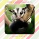 Sugar Glider Wallpaper HD Download for PC Windows 10/8/7