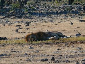 Photo: Líny lev u vodní nádrže Chudob v Etoshe / Lazy lion at Chudob waterhole in Etosha