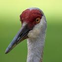 Sandhill Crane (Adult Feeding Fledgling)