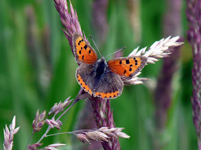 Photo: Small Copper.