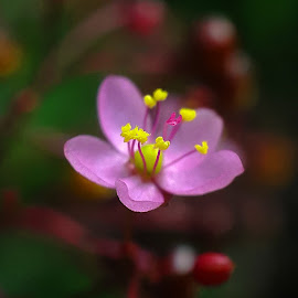 yellow on pink by Christian Bgr - Flowers Single Flower