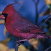 Cardinal Birds Wallpapers
