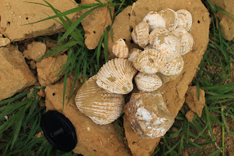 Photo: A zsákmány: Congeria- és Lymnocardium-félék szép példányai