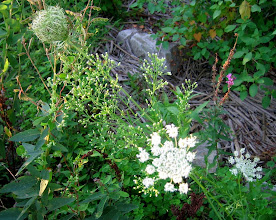 Photo: Queen Anne's Lace, 8.23