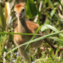 Sandhill Crane (chick)