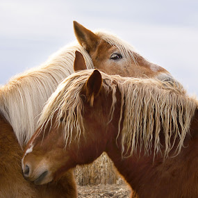 two horses on a hill in the winter  by April Brown - Animals Horses ( farm, draft, winter, horses, farming )