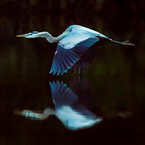 Heron Reflection by Scott Turnmeyer - Animals Birds ( bird, mirror, flying, reflection, blue, lake, heron, pond )