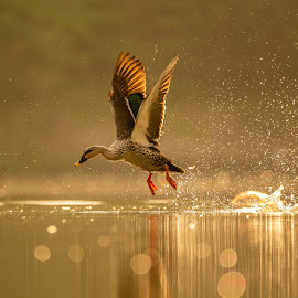Splashing the Golden Lake by Naveen Joyous - Animals Birds ( nature, golden hour, duck, birds, waterbirds, wildlife,  )