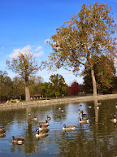 Photo: Flock of Canadian geese swimming in a pond at Eastwood Park in Dayton, Ohio.