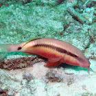 Long-barbel goatfish