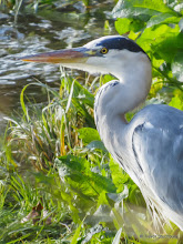 Photo: Grey Heron, Persley, Aberdeen