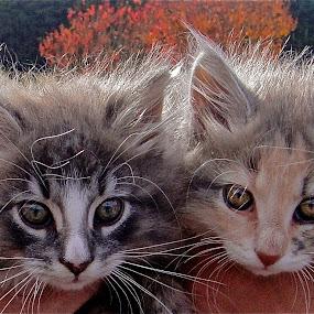 by Jennifer Lamanca Kaufman - Animals - Cats Portraits