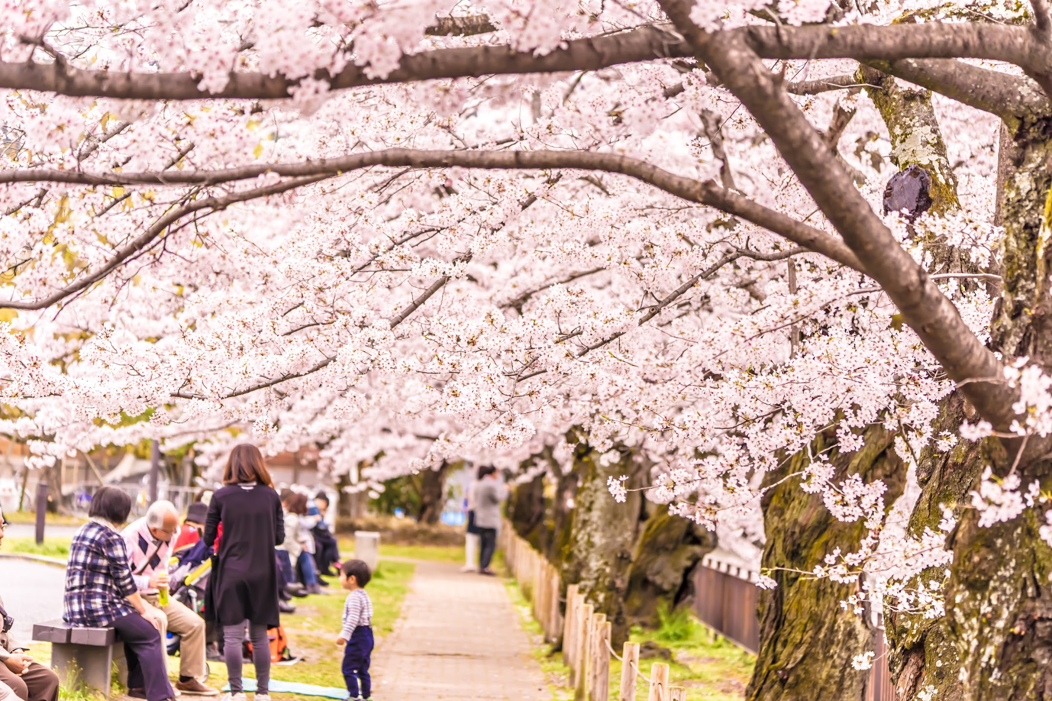 Kyoto okazaki park cherry blossoms