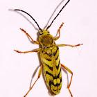 Long Horn Flower Beetle