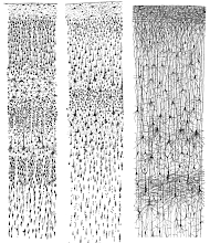 "Photo: Cortical lamination (layers of cells) sketched by Santiago Ramon y Cajal, the father of modern neuroscience. Cajal came up with the ""neural doctrine"" or the idea that the brain and central nervous system is made of individual units. We now those units as neurons.  Source: http://en.wikipedia.org/wiki/File:Cajal_cortex_drawings.png"