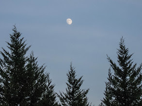 Photo: Project 365 Day 270-Early Evening Moon  I snapped this quick image of the Moon framed between some pine trees as I was on a short after work walk with Pam.