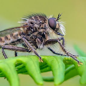 Robber Fly by Adele Price - Animals Insects & Spiders (  )