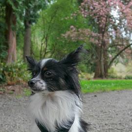 Sitting Pretty by Anita Elder - Animals - Dogs Portraits ( papillon, dog, park, furry, sit )