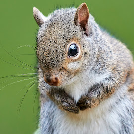 Squirrel 943~Q by Raphael RaCcoon - Animals Other Mammals