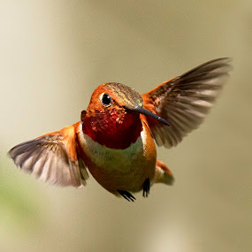 Rufous Hummingbird by Sheldon Bilsker - Animals Birds ( hummingbird )