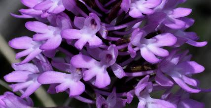 Photo: Anacamptis pyramidalis,Orchidaceae