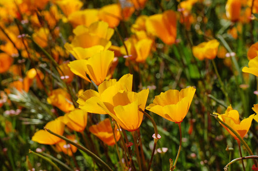 You can see golden poppies, or California poppies, growing in fields and grasslands throughout California.