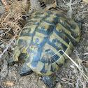 Εastern Hermann's tortoise  (Μεσογειακή Χελώνα)