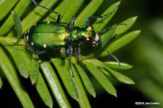 Photo: Tiger Beetle