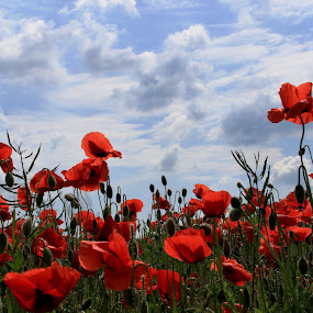 máky  by Jarka Hk - Flowers Flower Gardens ( red, sky, field, nature, poppies, clouds, photography )